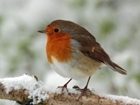 Festive Season Sees Robins In Abundance At GWCT Allerton Project