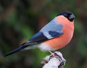 Bullfinch _male