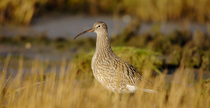 What is Action for Curlew?
