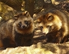 GWCT backs calls to ban the sale of raccoon dogs