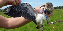Development of a lapwing chick
