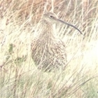 Curlew Country? Guest blog by Amanda Perkins