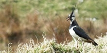 The effects of predator control on breeding moorland birds