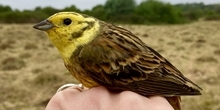 How do yellowhammers use areas planted for conservation on farmland?