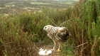 Revolutionary hen harrier licence is working