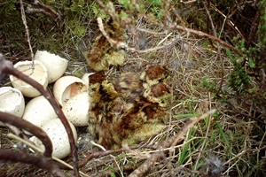Black grouse chicks after hatching