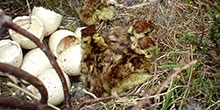 What do black grouse chicks eat?