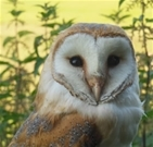 Good breeding season for Rotherfield's barn owls