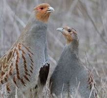 East Anglian Partridge Group Farm Walk image