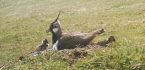 Camera Trap Image Of Lapwing On Nest With Chicks