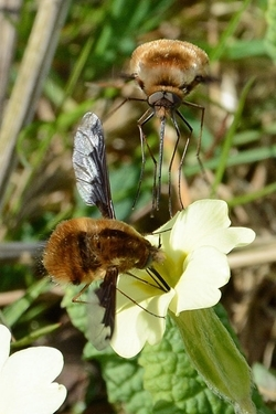 Bee fly on primrose