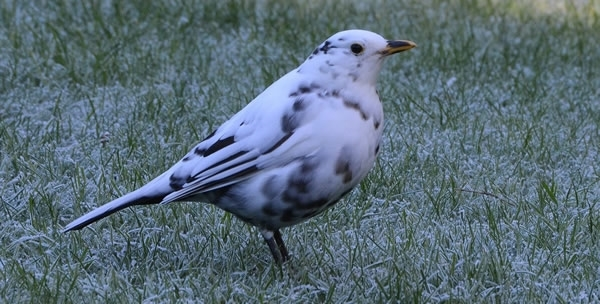 White Blackbird 33333333