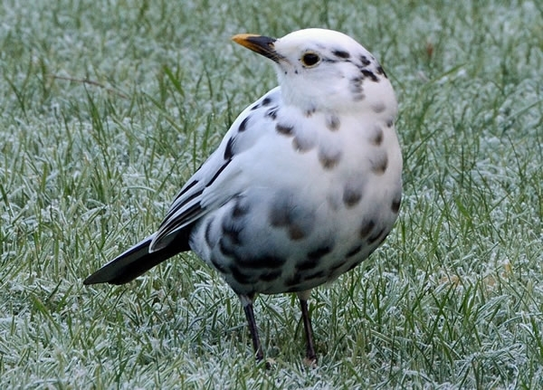 White Blackbird 2222