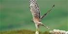 Natural England hen harrier licences - GWCT response
