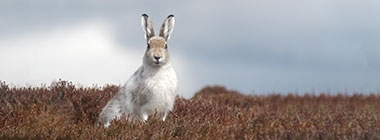 Scottish Mountain Hare Survey 2018