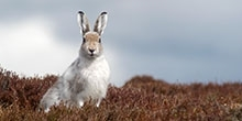 Does grouse moor management benefit Scottish mountain hares?
