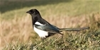 Corvid control can improve fledging success of farmland hedgerow-nesting birds