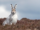 Mountain Hare Survey returns after 10-year absence