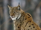 Lynx welfare must be considered before reintroduction: our letter to The Times