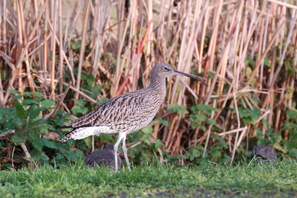 Curlew Close Up