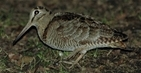 New research provides guidance on woodcock shooting in cold weather