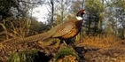 Pheasants and ticks: our letter in The Courier