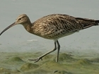 How the GWCT are helping curlew: guest blog by Mary Colwell