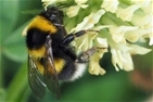 Free bumblebee identification course at Auchnerran