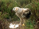 Why are the RSPB trying to veto the Hen Harrier plan?