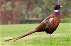 New GWCT project investigates breeding success of pheasants