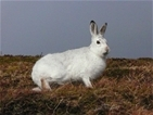 Mountain hares benefit from grouse moor management: Our letter to the Scotsman