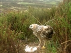 RSPB's 'bizzarre' suggestions on hen harrier success: Our letter published by The Times