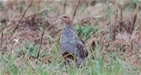 Farmers and land managers show that every partridge counts