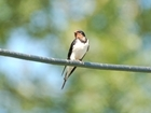 Wildflowers could be key in reversing swallow declines