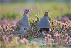 Boost for grey partridge project