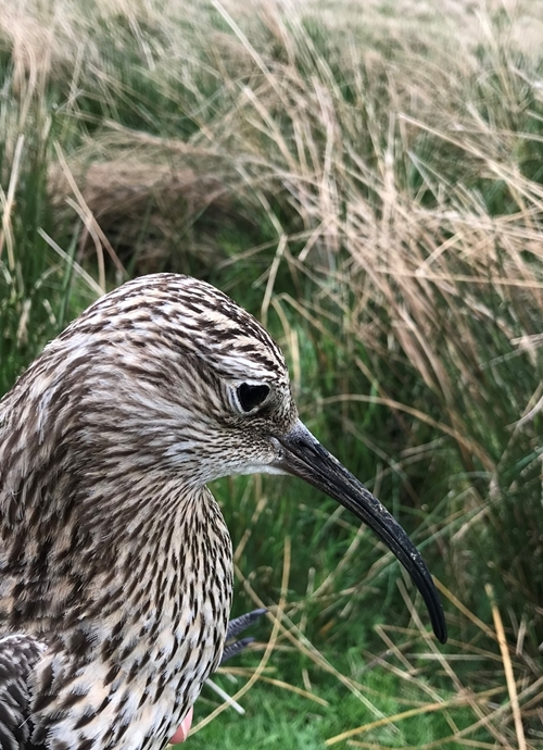 Curlew , May 2018v3