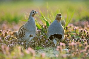 Partridge pair (Rollin Verlinde)