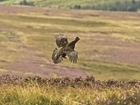 Grouse moor management key to helping hen harrier population: Our letter to The Field
