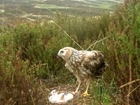 Judge clears way for RSPB to support hen harrier recovery