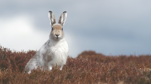 Mountain Hare 2 Scott Newey Small