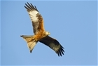 Red kites still capable of scavenging for food: Our letter published in The Times