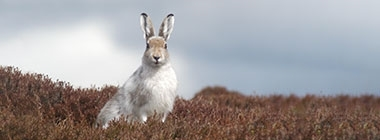 Management and mountain hares