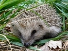 Hedgehog numbers have halved, but it's quite wrong to attribute this to the loss of hedgerows: Our letter sent to The Guardian